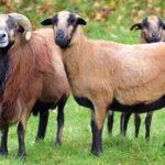 moutons-cameroun