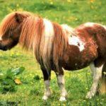 11241950-un-poney-shetland-dans-un-champ-de-renoncules