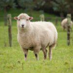 Tremblante-du-mouton-elle-pourrait-se-transmettre-a-l-homme