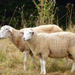 mouton-congerdesign-cc_3289949