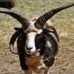 :5: Le Mouton de Jacob ou Mouton à 4 cornes (Ovis aries) est un mammifère (Artiodactyles) de la famille des bovidés.  Son poids varie de 35 à 50kg.  Sa saison de reproduction est de juillet à décembre ; la gestation dure 5 mois pour une portée de 1 à 2 petits dont le sevrage dure quand à lui 2 mois. La maturité sexuelle de ce mouton est à 2 ans, il a une durée de vie d'environ 10 ans.  Cet ovin est originaire de la Mésopotamie et a été importé en Grande-Bretagne par les Vikings, il y a 2 000ans.  Son nom lui vient de son originalité, ses 4 cornes, issues de mutations génétiques naturelles, par la suite sélectionnée par l'homme.  J'ai eu l'occasion d'en rencontrer plusieurs mais celui-ci, je l'ai trouvé très beau avec sa toison tricolore, c'est un mouton très doux et qui aime les caresses. :6: