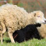 mouton-noir-ou-blanc