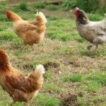 poule_1